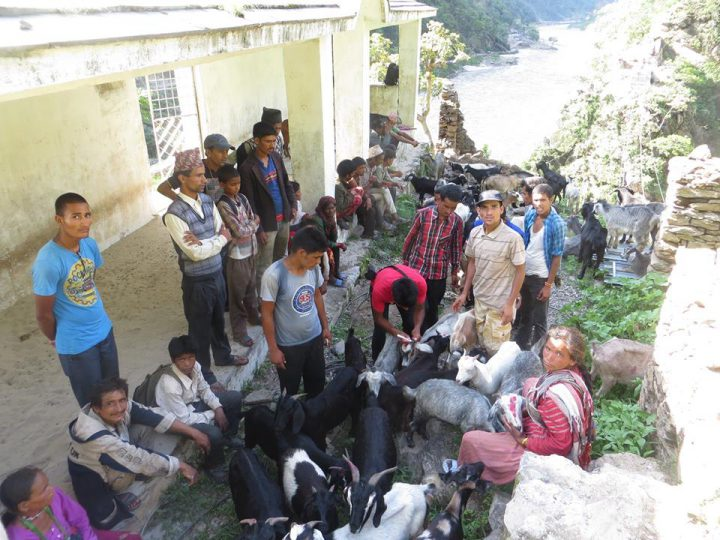 Sheep and goat distribution for income generation